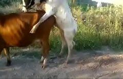 الجنس الخشن مع اثنين من الحيوانات عندما يمارس الجنس بشدة